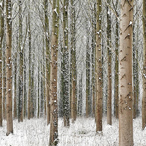 Martin Brent - Snow Trees I